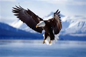 Bald Eagle Flying on Sky