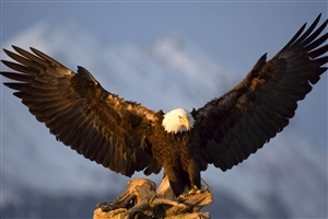 Big Eagle Spreading his Wings HD Wallpapers Download