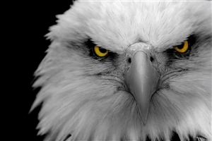 Eagle HD Desktop Background Wallpaper