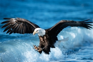 Eagle Hunting Fish in Sea