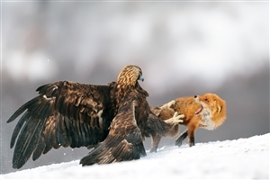 Eagle Hunting Fox