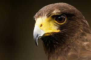 Eagle Killing Eye