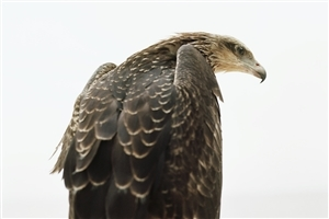 Eagle Pic From Back Side Wallpaper