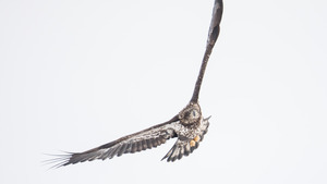 Flying Eagle Bird 4K Photo Background