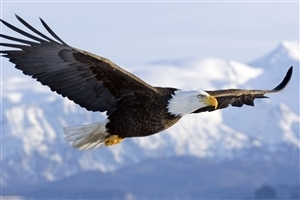 Flying Eagle in Sky HD Wallpaper