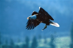 Flying Eagle with Fish in Lag Huntting Wallpaper