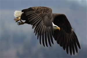 Nice Picture of Bird Eagle