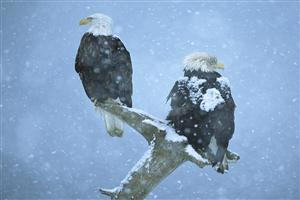 Two Eagles Sitting on Branch in Snow