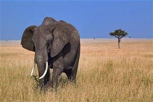 African Elephan HD Animal Wallpapers Free Download