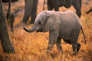 Animal Elephant Baby HD Photo