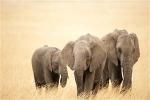 Beautiful Big Three Elephants walking on Dry Grass Wallpapers