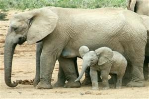 Child Baby Elephant with Mother