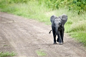 Elephant Baby Calf Wallpaper
