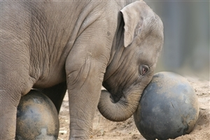 Elephant Playing with Ball Photo