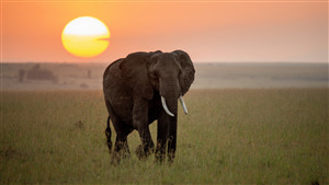 Elephant Walking At Sunset Time 4K Photo