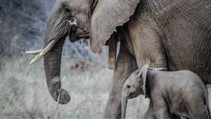 Elephant with Baby in African Jungle 5K Wallpaper