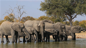 Elphant Family Drink Water in River 4K Wallpaper