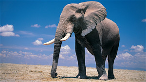 Free Download Pic of Elephant