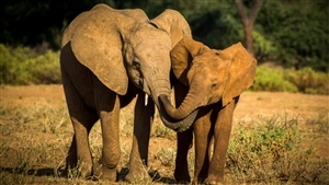 Mother Elephant Love To His Child