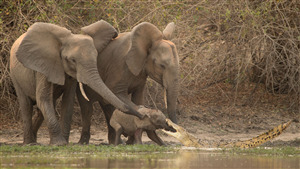 Mother Elephant Protect His Baby From Crocodile