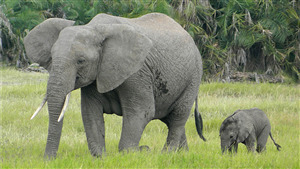 Mother Elephant with Her Child Awesome Pic