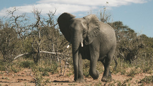 Wildlife Animal Elephant