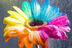 Amazing Nice Colorful Rainbow Flower HD Wallpapers
