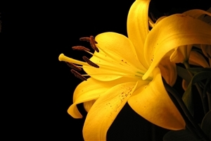 Beatiful Nice Lily Yellow Flowers Wallpaper