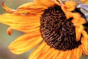 Beautiful Autumn Sunflower Wallpaper
