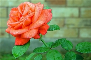 Beautiful Orange Rose Flower HD Wallpapers