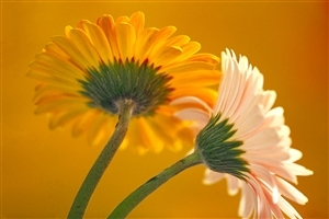 Beautiful Orange and Yellow Flower HD Desktop Background Wallpaper
