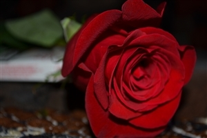 Beautiful Red Rose Flower Wallpaper