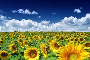 Beautiful Sunflowers Farm
