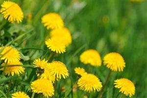 Beautiful Yellow Dandelion Flower Wallpaper
