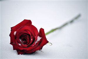 Red Rose 4K Pic
