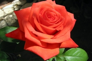 Rose HD Photo