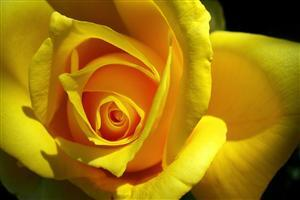 Yellow Rose Wallpapers Close Up