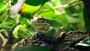 4K Pic of Green Frog in Forest