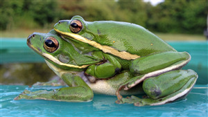 Amazing Image of Green Frog Amplexus