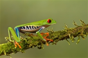 Animal Frog HD Wallpaper