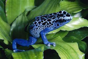 Blue Poison Dart Frog Sitting on Leaf