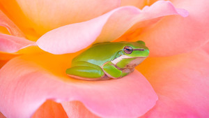 Cute Frog in Pink Flower