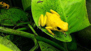 Download Image of Yellow Frog