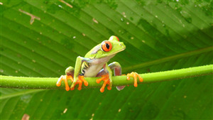Free Download Wallpaper of Frog