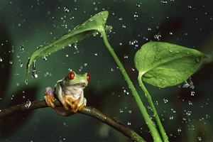 Frog During Rain Wallpaper