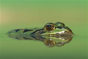 Frog Head Over the Water
