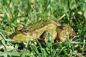 Frog in Green Grass Image