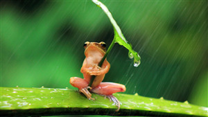Funny Photo of Frog Protect with Leaf from Rain