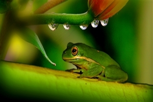 Green Frog on Leave Photo