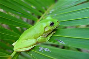 Green Frog on the Leaves Pics